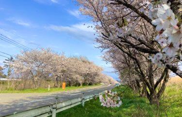河北潟の千本桜 と サンセットブリッジ内灘